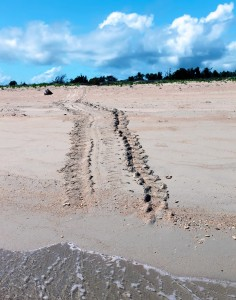Turtle Tracks On The Beach