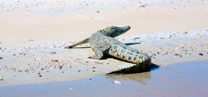 A cheeky little salt water croc having a rest on the beach.